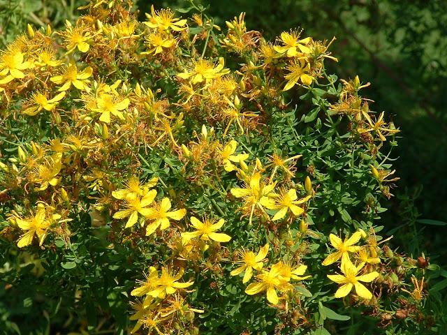 Hipericum fű a prosztatitisből)